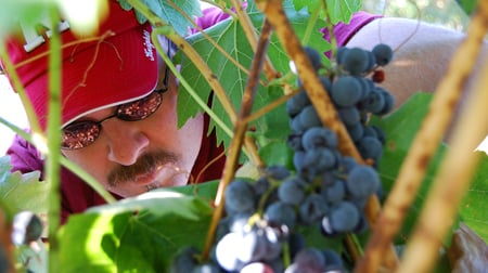 picking tempranillo grapes in 2007
