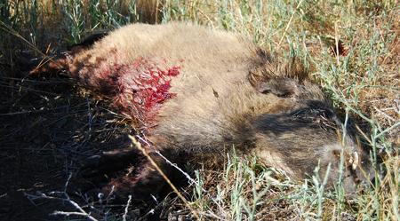 dead-boar