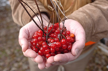 higbush cranberries