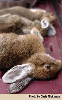 snowshoe hares vertical
