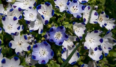 five Spot flowers in the Sierra Nevada