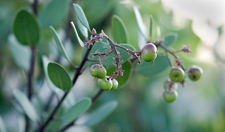 manzanita berries on the bush