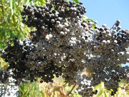 Western elderberries