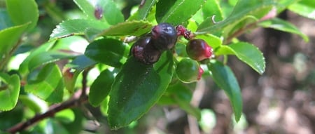 California evergreen huckleberry