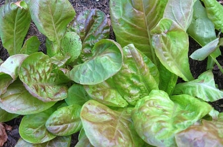 italian lettuces