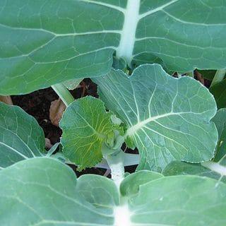 portuguese cabbage