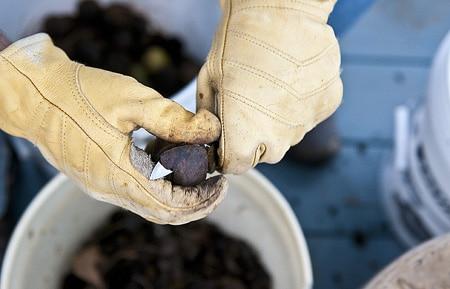 hulling black walnuts