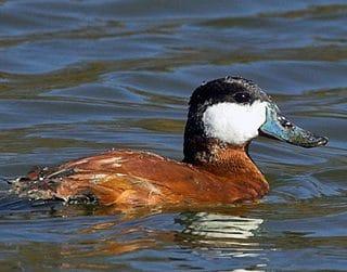 Ruddy Ducks, The Original Butterball