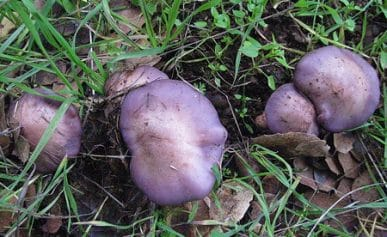blewits in grass