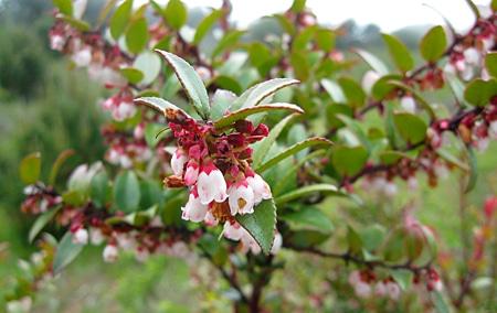 huckleberry flowers