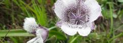 pussy ears flower