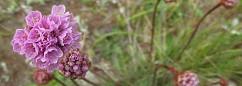 sea pink flowers