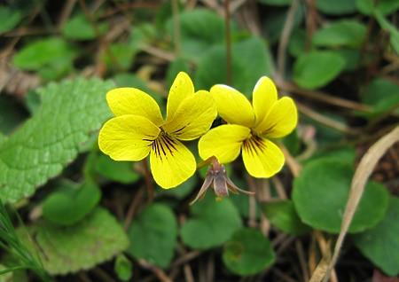 wild Western violets