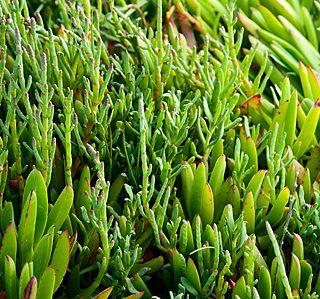 Sea Beans, Salicornia, Samphire