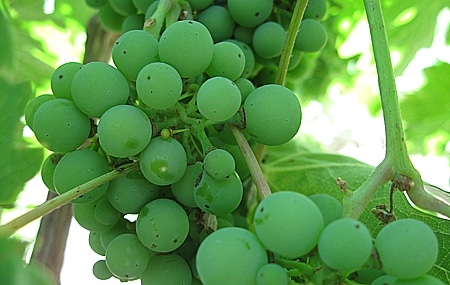 unripe grapes for verjus