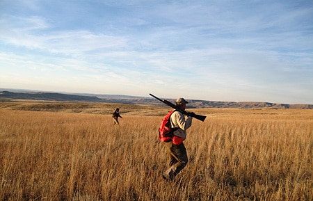 Hungarian partridge hunting in Montana