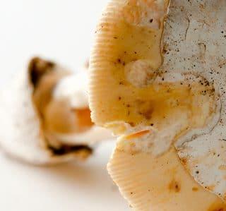 amanita lanei, or coccora