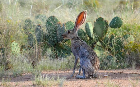 Bad ass texas rabbit