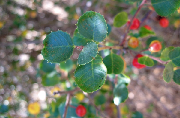 hollyleaf redberry leaves