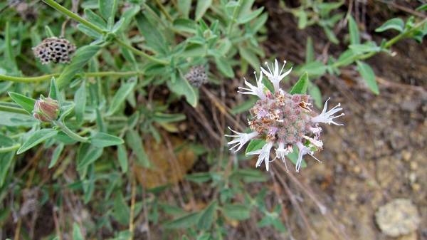 mountain pennyroyal flower