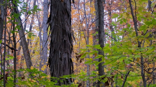shagbark hickory
