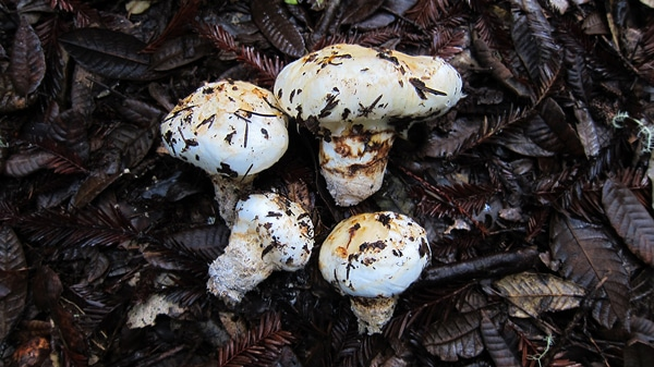 matsutake 