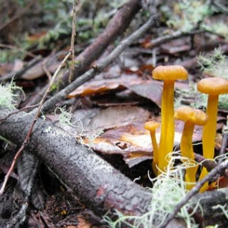 yellowfoot chanterelles