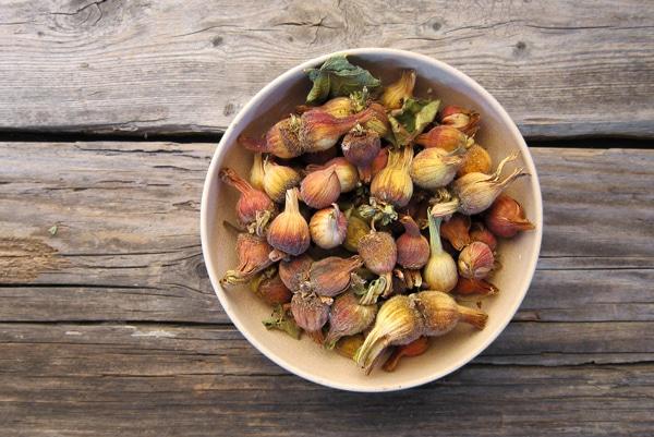 dried wild hazel nuts