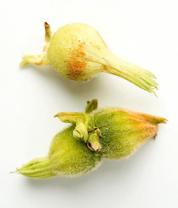 fresh beaked hazel nuts