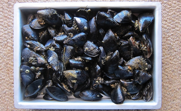 lots of mussels