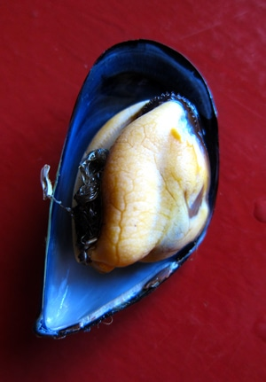 A raw mussel