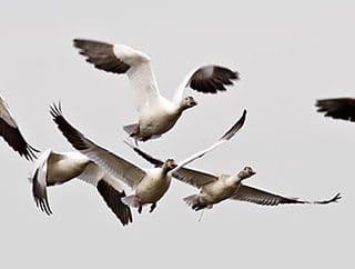 A Specktacular Goose Hunt!