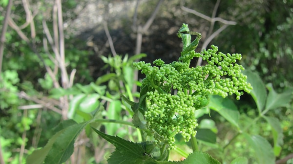 unripe elderflower buds