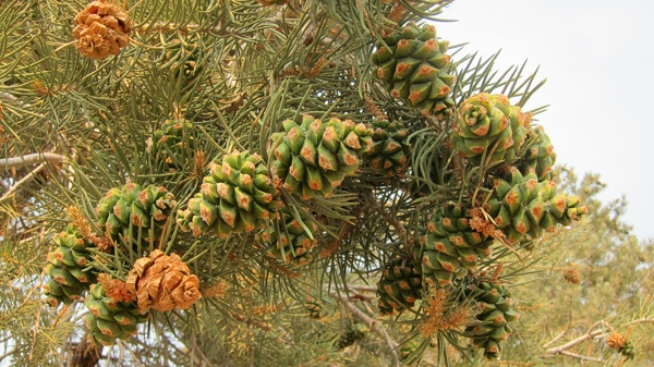 Pinus monophylla with cones