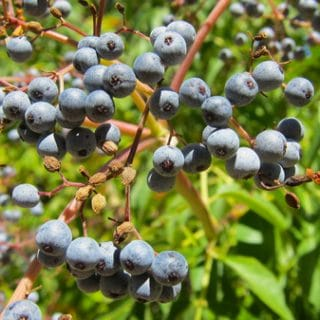 ripe elderberries