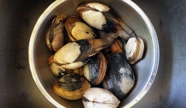 Pacific gaper clams