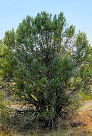 Pinus monophylla tree