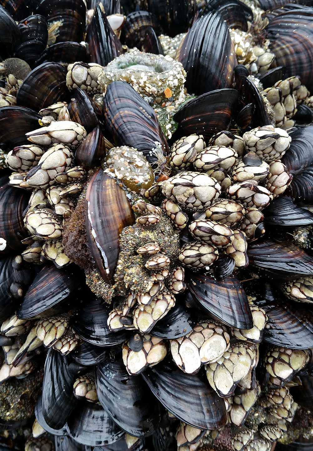 Pacific mussels and gooseneck barnacles