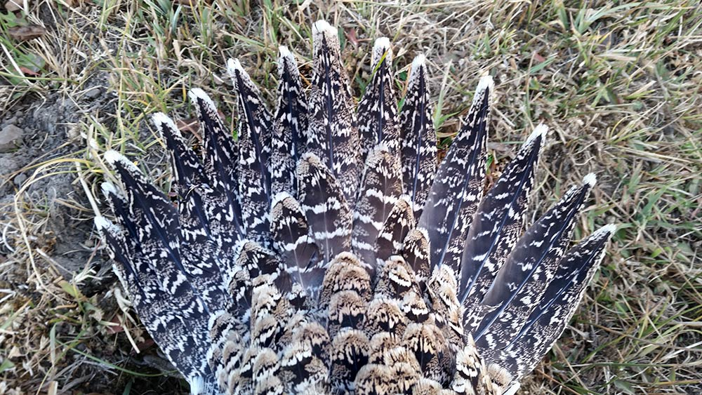sage grouse tail