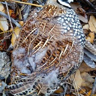 Mearns quail