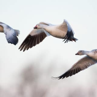 On Eating Snow Geese