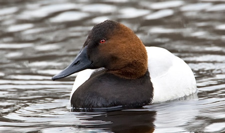 Drake canvasback duck