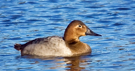 Hen canvasback duck