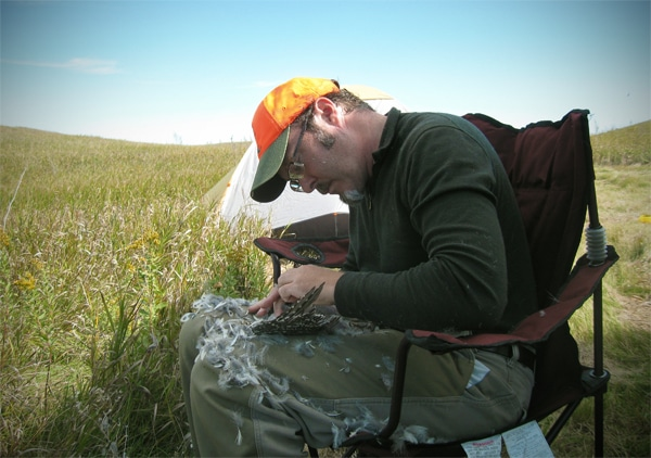 Hank Shaw plucking a grouse.