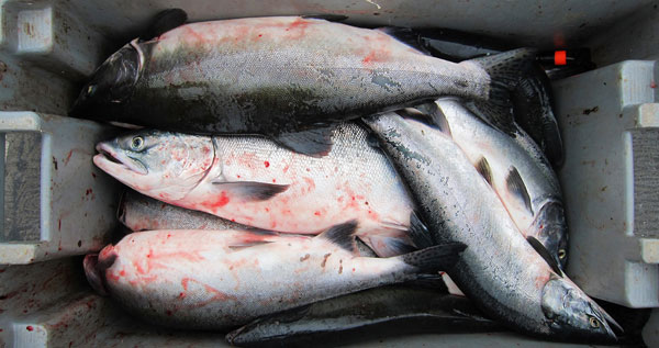 pink-salmon-in-the-box-600px
