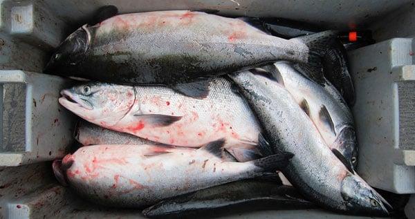 Pink salmon in a bin