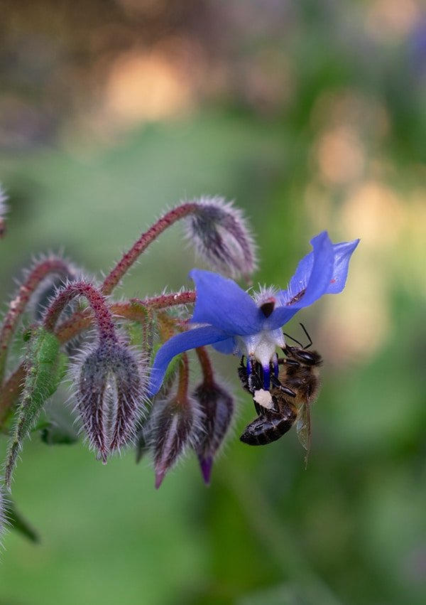 borage plant flower with a bee