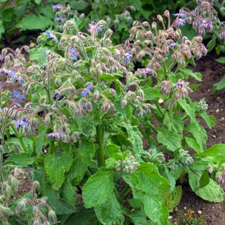The Courage to Cook with Borage