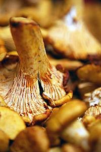 A close up of a chanterelle mushroom