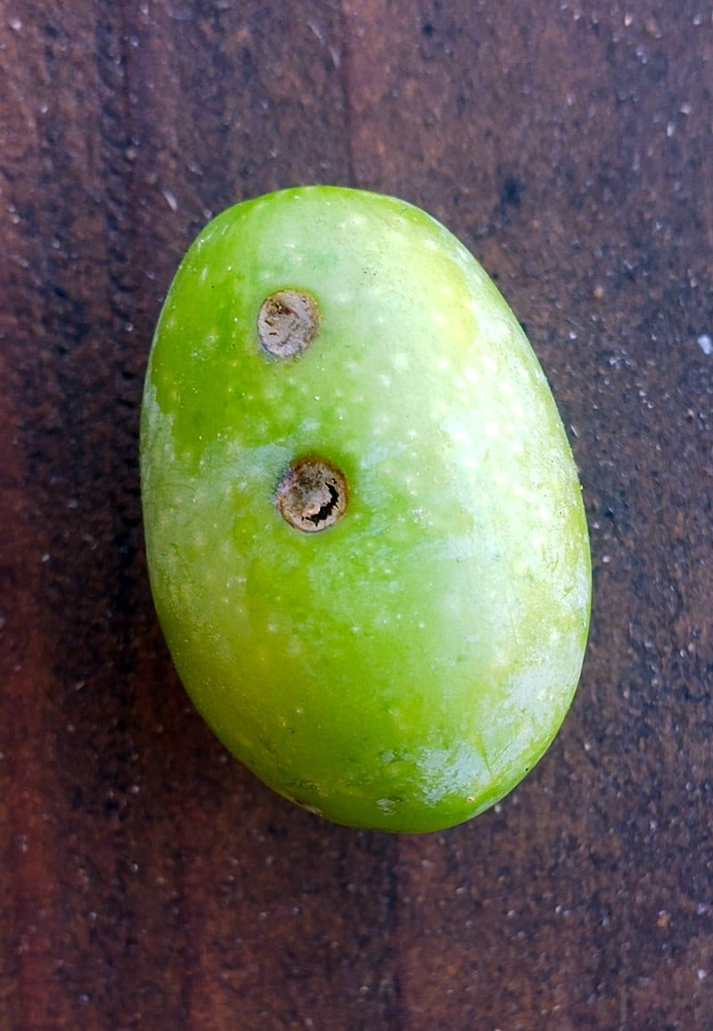 An olive infected with an olive fly larva